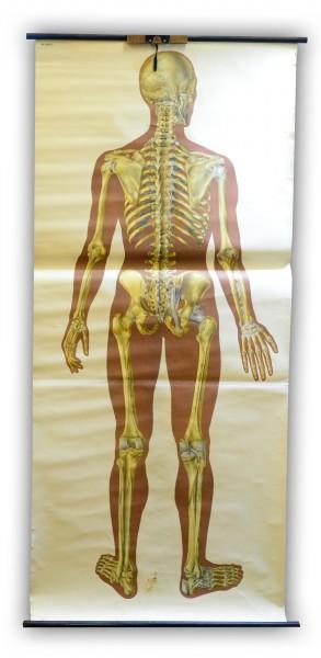 Schautafel DDR Dresden Hygeniemuseum das Skelett des Menschen mit Bandapparat